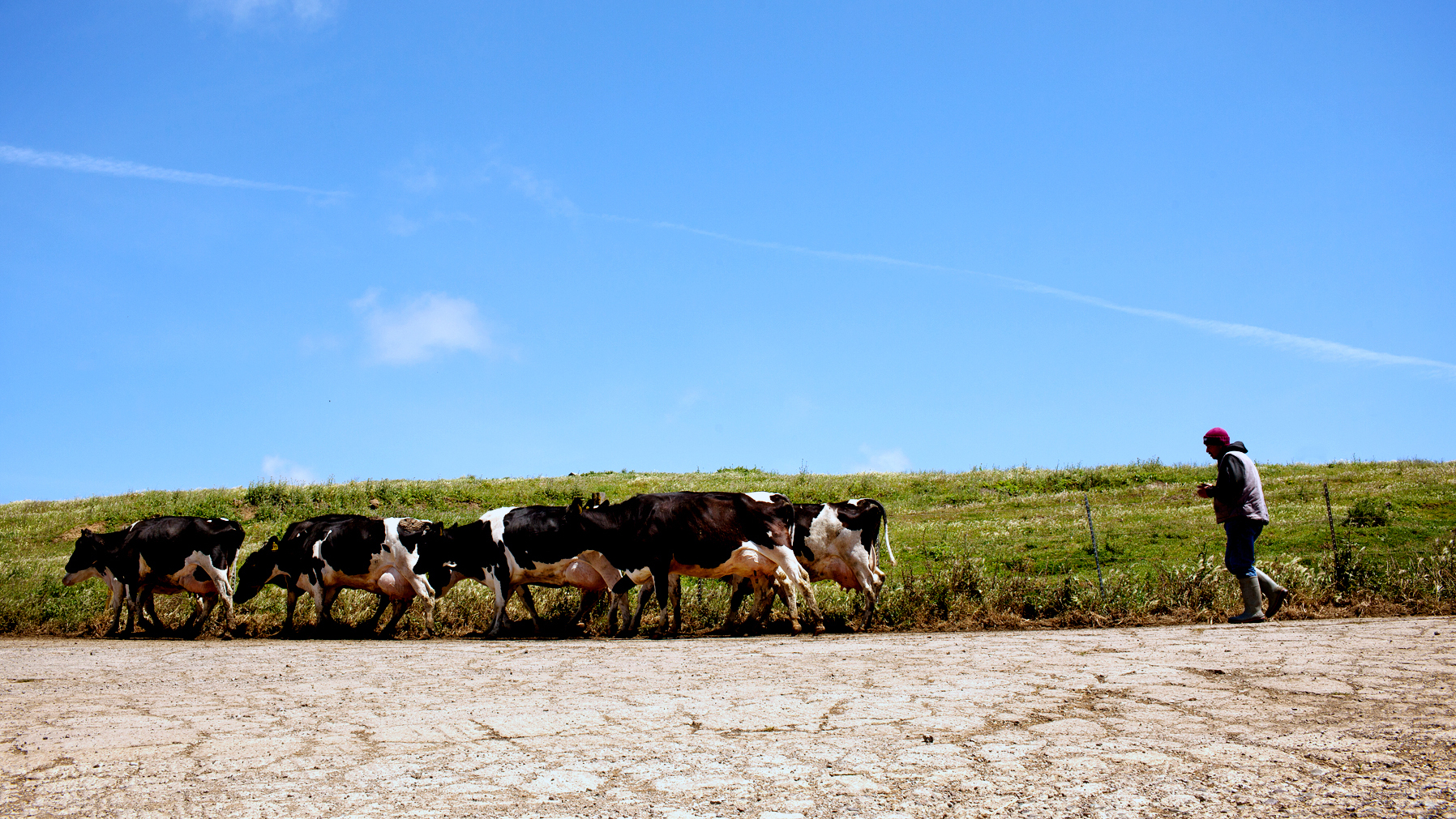 Jose Gonzalez monitors the cows at Bivalve Dairy as they walk to be milked at the farm near Point Reyes Station, Calif. Photo: Tim Hussin for NPR