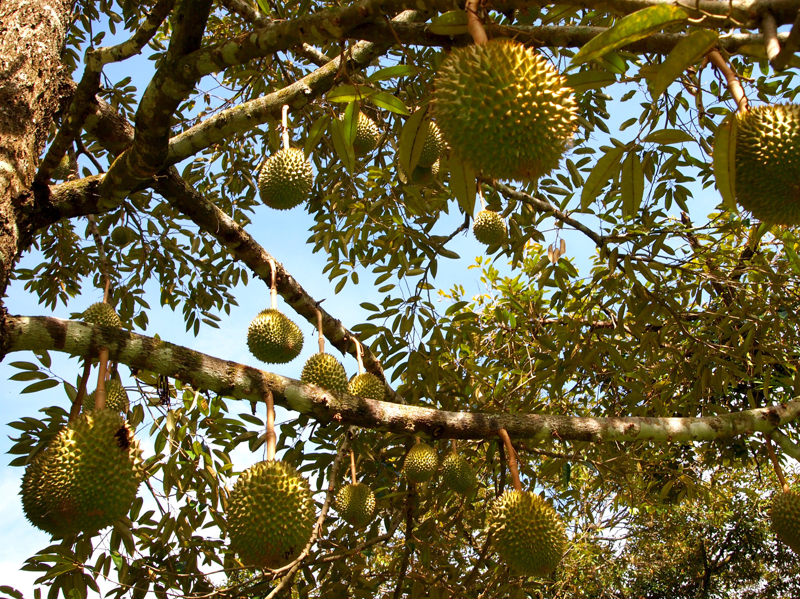 Durian fruit hangs from a tree. Courtesy of Lindsay Gasik