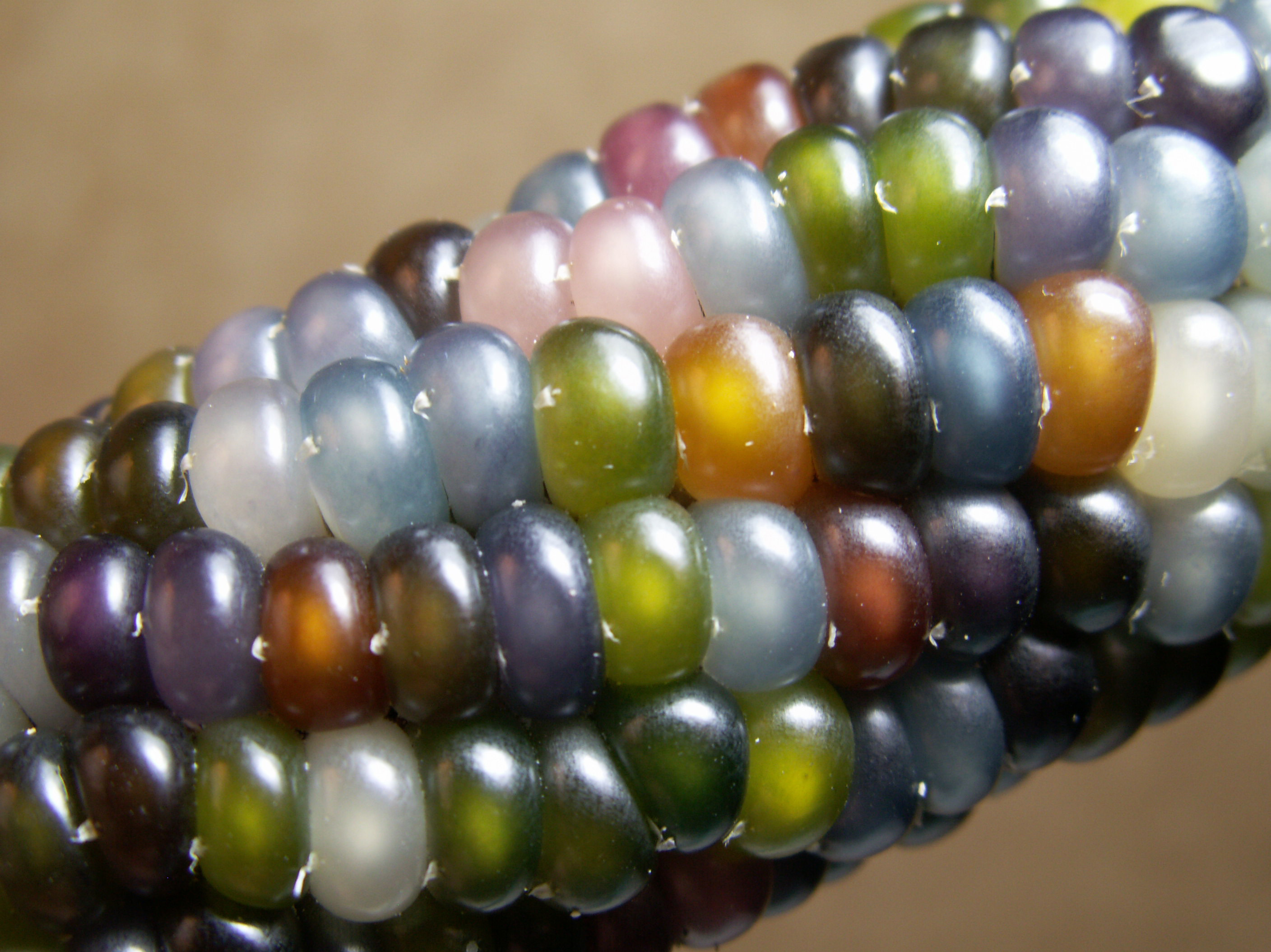 The nearly translucent Glass Gem Corn looks more like a work of art than a vegetable. Photo: Greg Schoen/Native Seeds