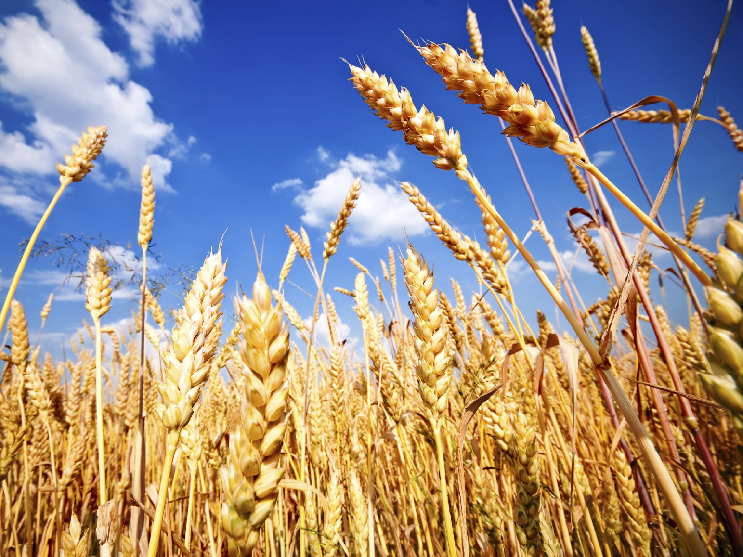 Wheat fields like this one could yield wheat with less zinc and iron in the future if they are exposed to higher levels of CO2, according to the journal Nature. Photo: Zaharov Evgeniy/iStockphoto.com