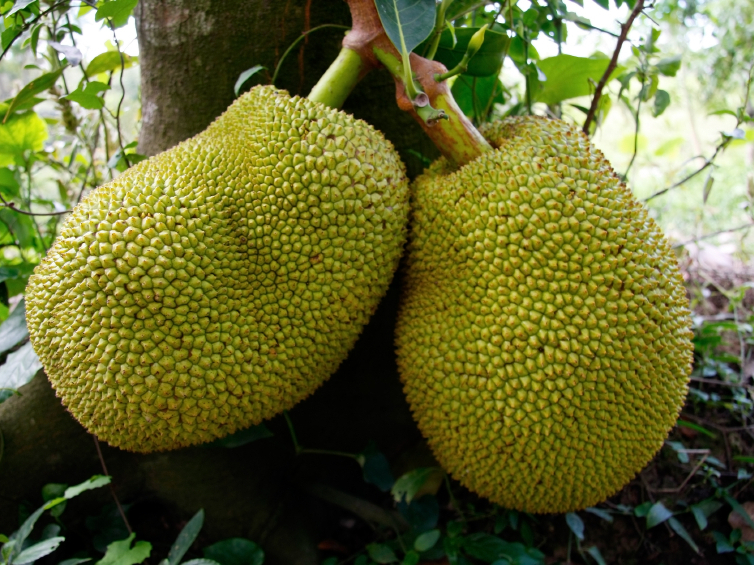 Jackfruits grow on the branches and trunks of tall trees. You don't wait to harvest until they drop of their own accord — by that time, they'd be overripe. Photo: iStockphoto