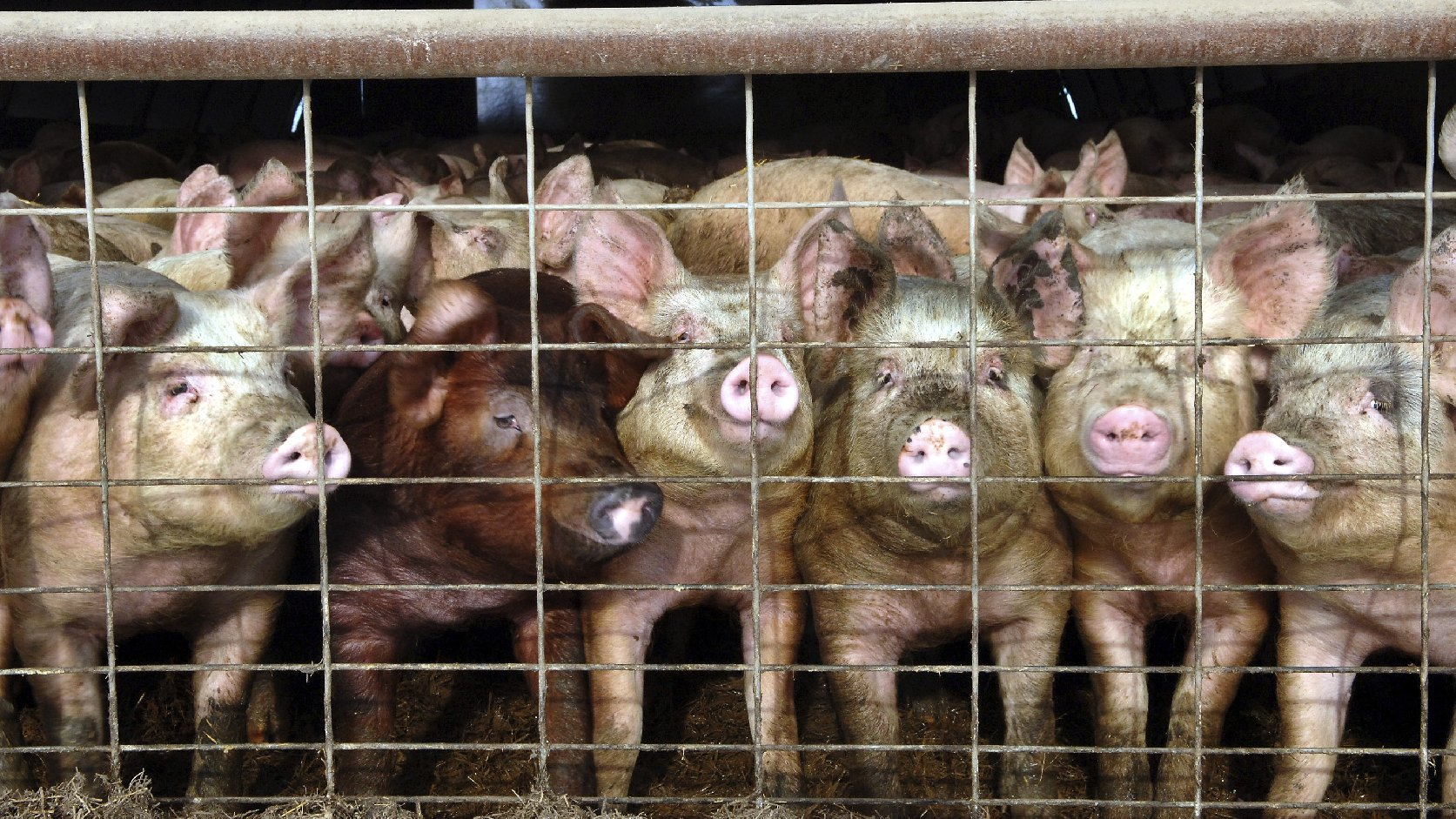 France has banned imports of live pigs and other products from the U.S. to keep out a virus that has killed more than 4 million pigs in the U.S. Here, young pigs look out of a pen at a North Dakota hog farm in a 2005 file photo. Photo: Will Kincaid/AP