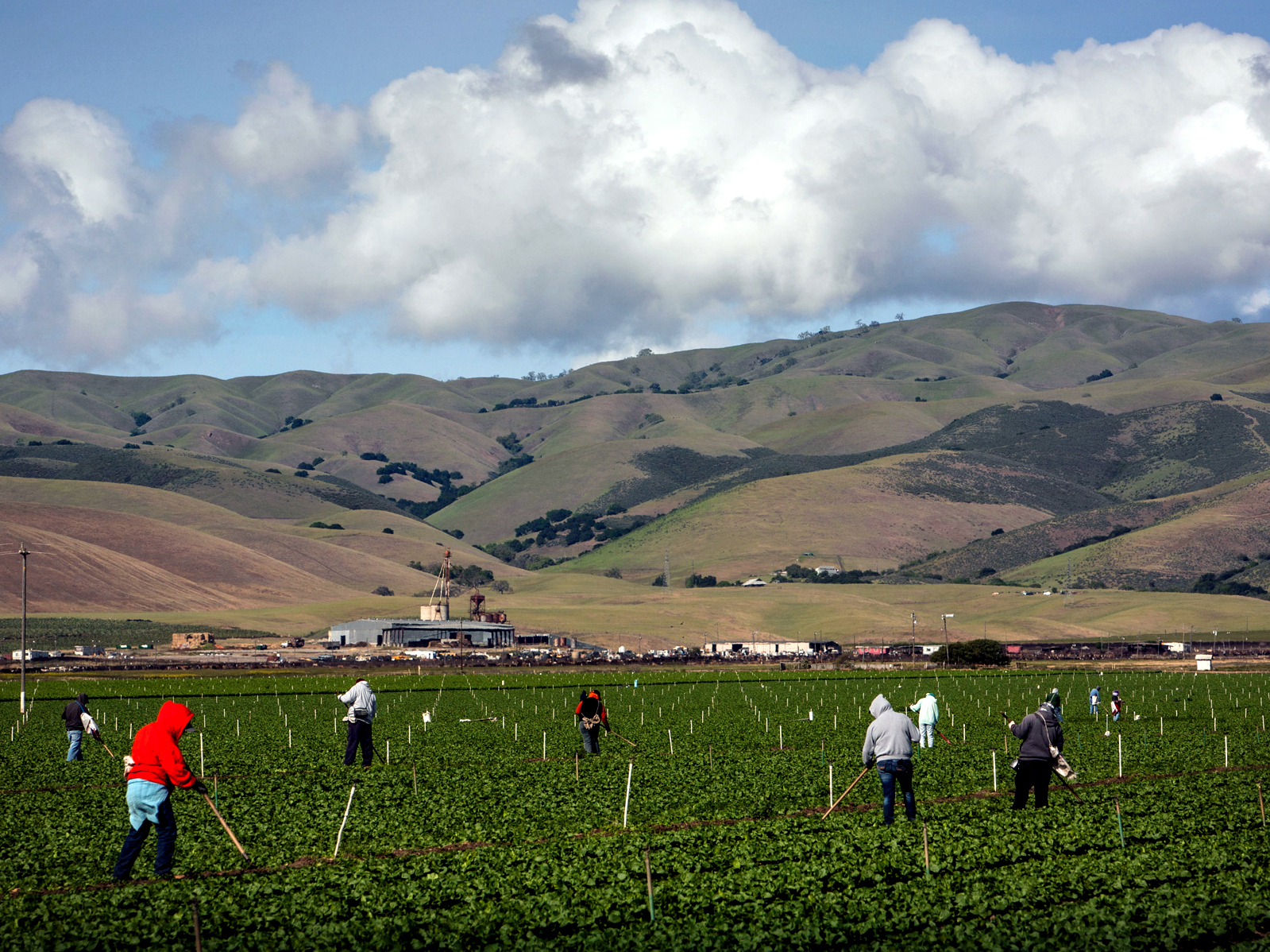 Farmworkers pull weeds from a field of lettuce near Gonzales, Calif. Salinas Valley farms like this one rely on wells, which haven't been affected much by the drought. Photo: George Rose/Getty Images