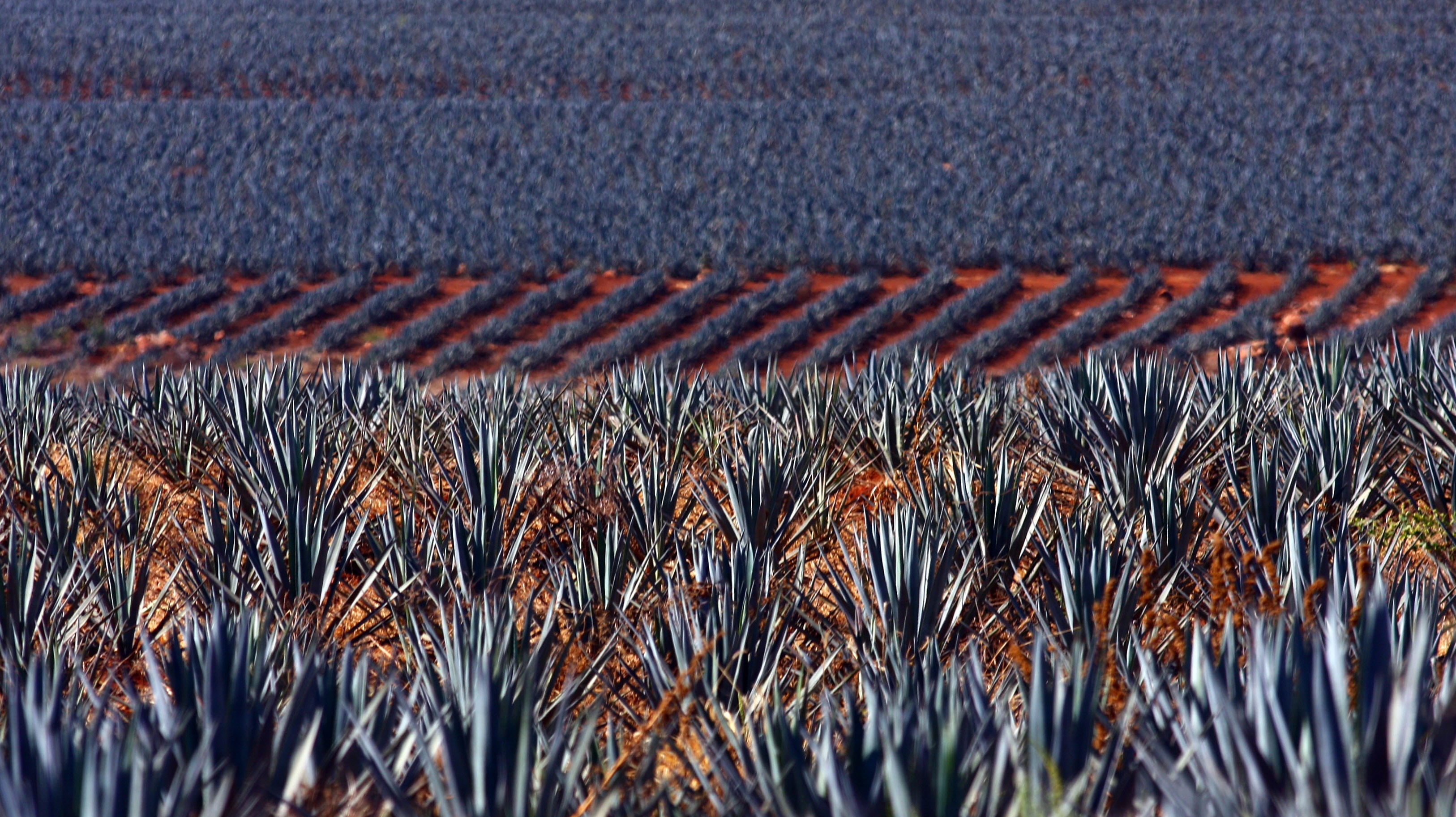 Blue agaves grow in a plantation for the production of tequila in Arandas, Jalisco state, Mexico, in December 2010. In the past 20 years, tequila has become fashionable all over the world, demonstrating that producers' international sales strategy has been a great success. Photo: Hector Guerrero/AFP/Getty Images
