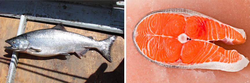A Chinook salmon, location unknown; a Chinook salmon fillet. Photos: Emma Forsberg/Flickr; Debbi Smirnoff/iStockphoto