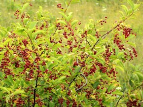 Twigs and leaves from chokecherries are high in vitamin K, fiber and calcium. Photo: pverdonk/iStockphoto