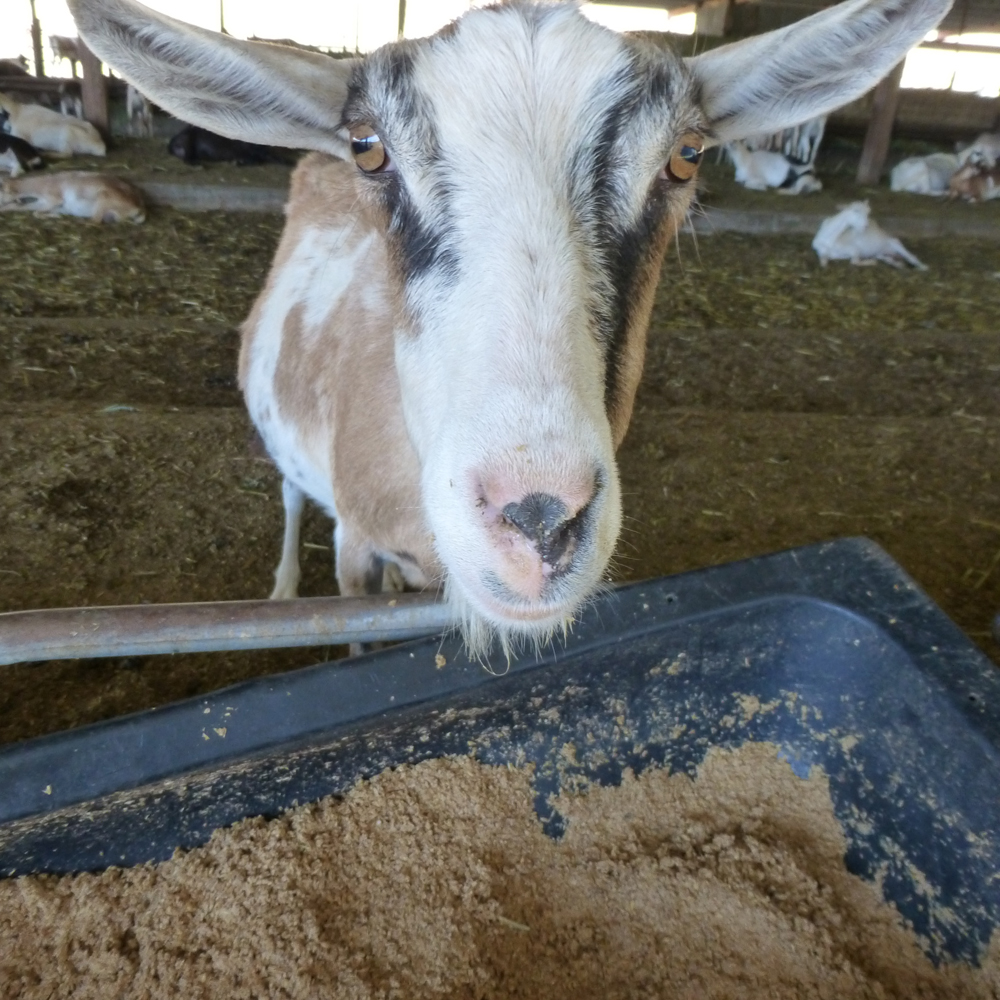 A proposed FDA rule could threaten the tradition of breweries providing farm animals like this one with leftover grain. Photo: Shelby Pope