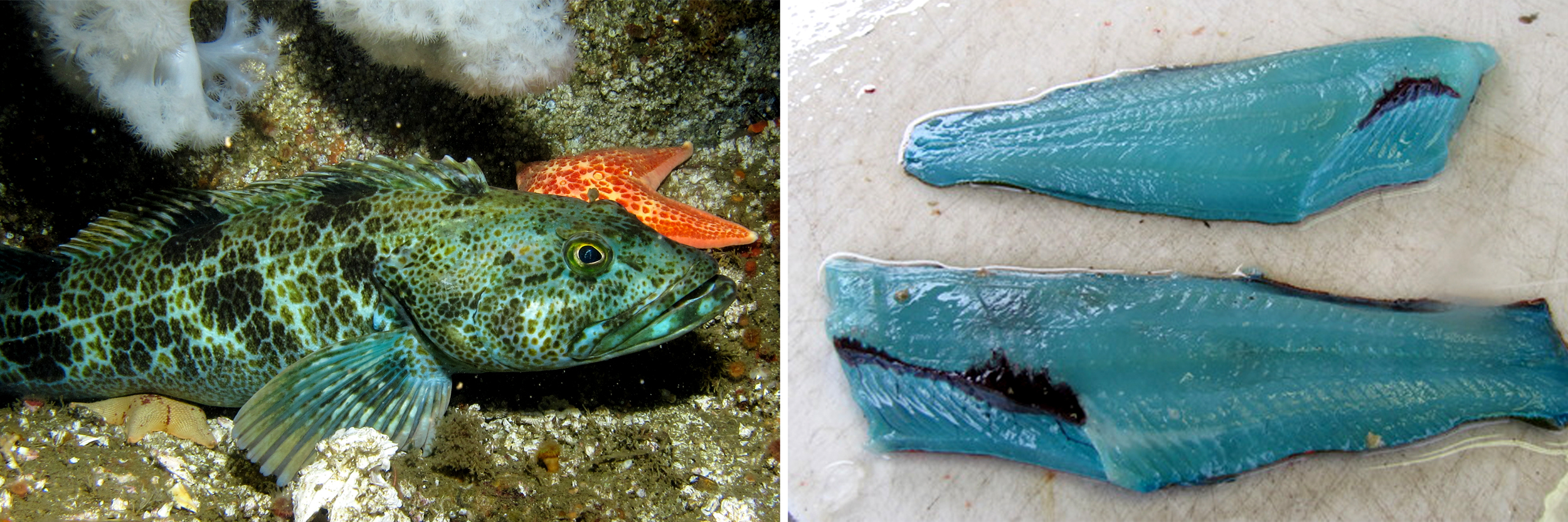 A lingcod, location unknown; blue lingcod fillets. Photos: Ed Bierman/Flickr