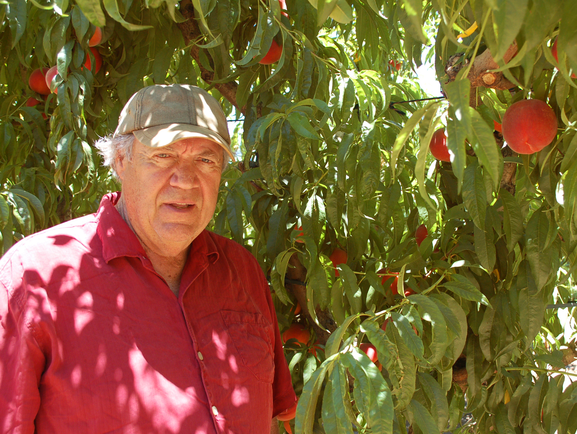 Andy Mariani has the largest collection of heirloom stone fruit on the West Coast. Photo: Susan Hathaway