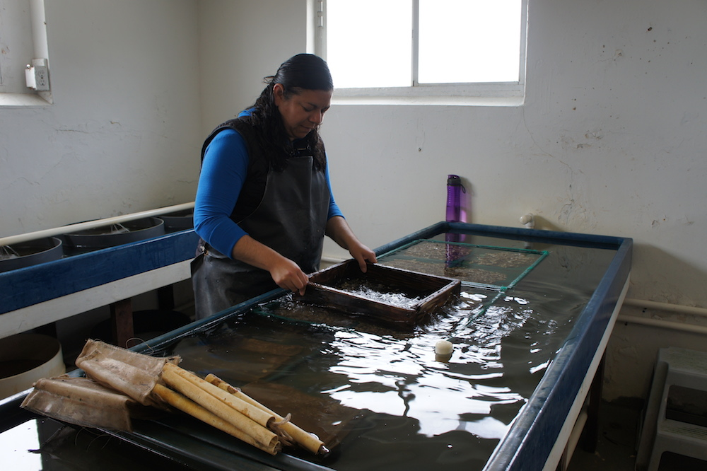 Drakes Bay biologist Rosa Meza sorts baby oysters based on their size. Photo: Angela Johnston