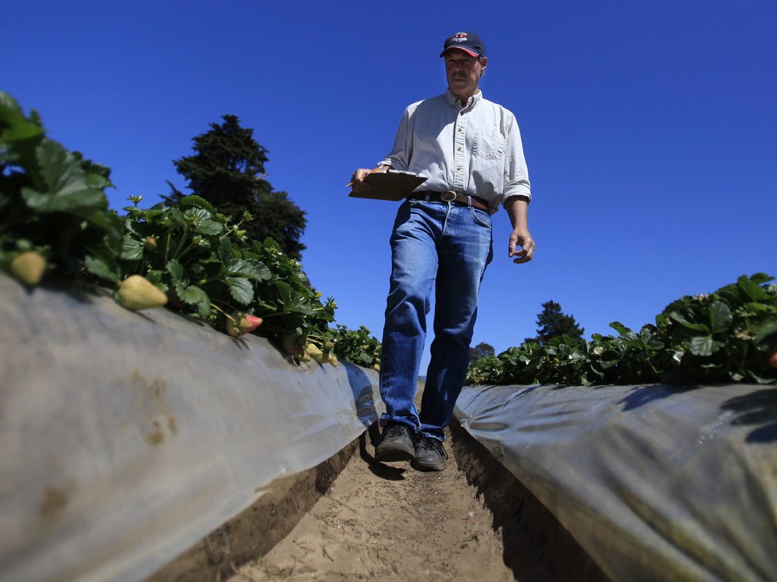 Douglas Shaw, a UC Davis plant science professor, walks through strawberry fields in Watsonville, Calif., in April. He runs a strawberry growing and test facility there. Photo: Francine Orr/Los Angeles Times