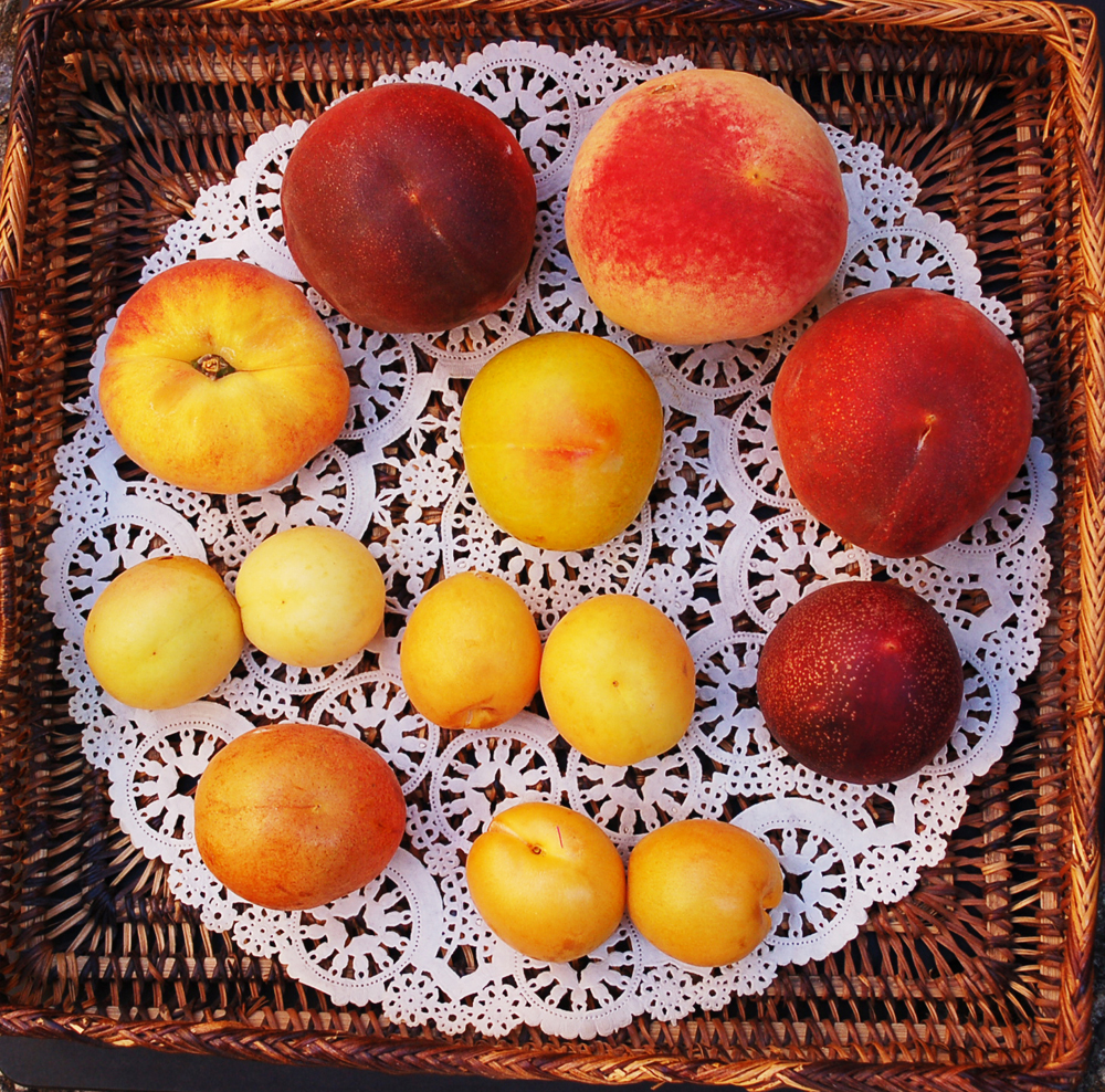 "Some of the stone fruit grown at Andy's Orchard. From top right, going clockwise: Silver Logan peach, Sierra Pink peach, Raspberry Red nectarine, two ""Yuliya"" CandyCots, Alameda Hemskirke apricot, two Lasgerdii Mashad apricots, Galaxy doughnut peach, Red Top peach. Middle top: Dolly yellow plum; below: two Canada White apricots. Photo: Susan Hathaway"