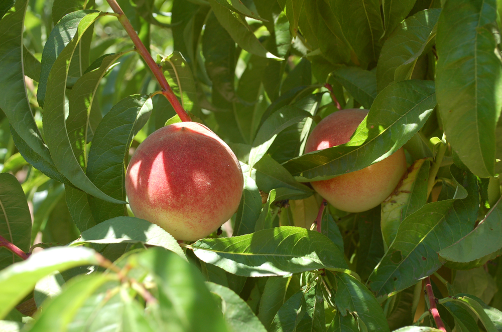 These ripening nectarines from Andy' Orchard are not from the inner part of the tree, thus will have higher quality and sweetness. Photo: Susan Hathaway