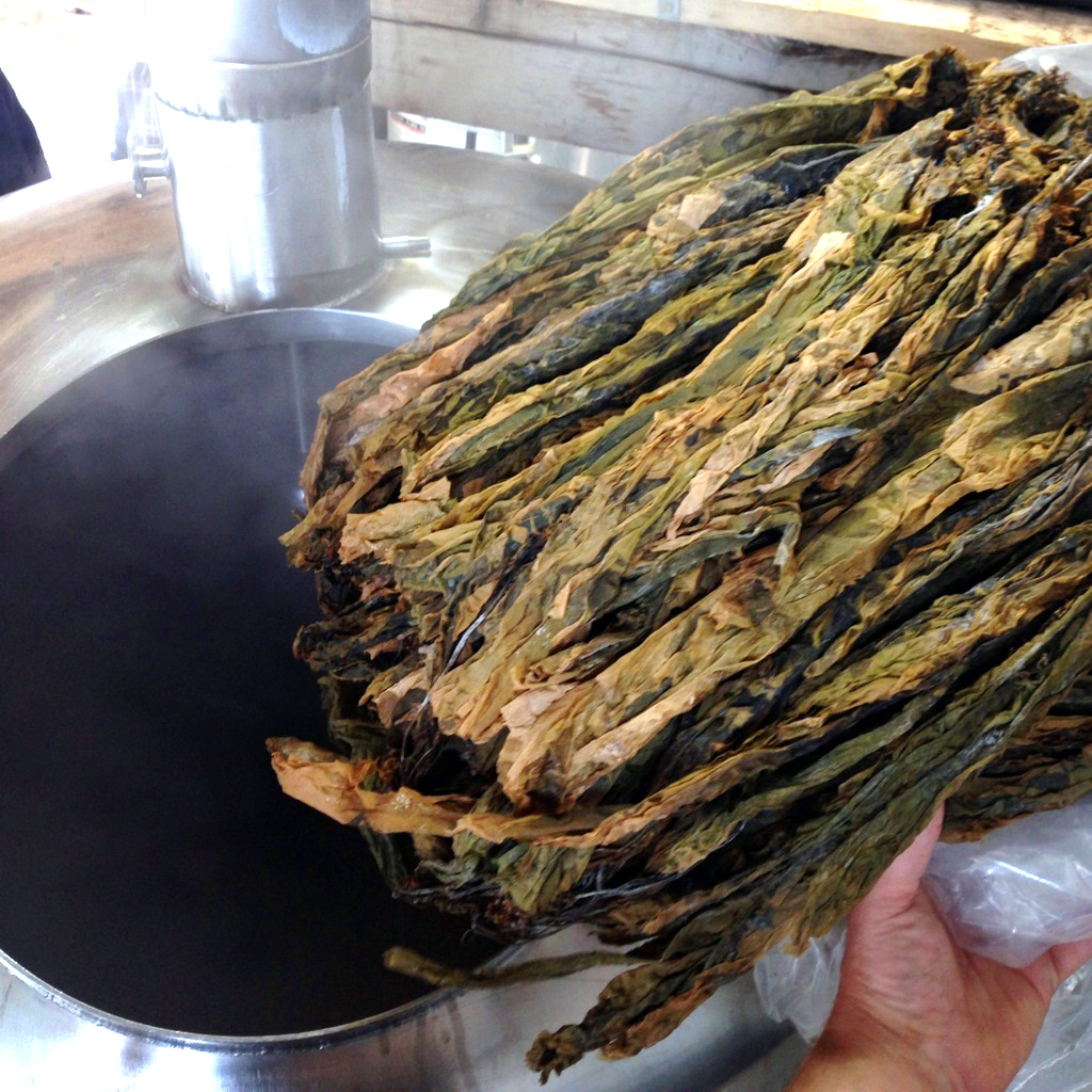The sugar kelp used to make beer. Photo: David Carlson/Marshall Wharf Brewing Co.