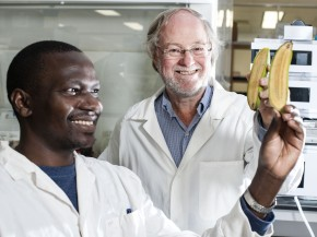 Ugandan researcher Stephen Buah and Professor James Dale hold bananas bred to be rich in vitamin A at Queensland University of Technology. Photo: Erika Fish/Courtesy of Queensland University of Technology