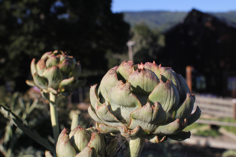Artichokes that were picked for one of the dishes on the menu. Photo: Angela Johnston