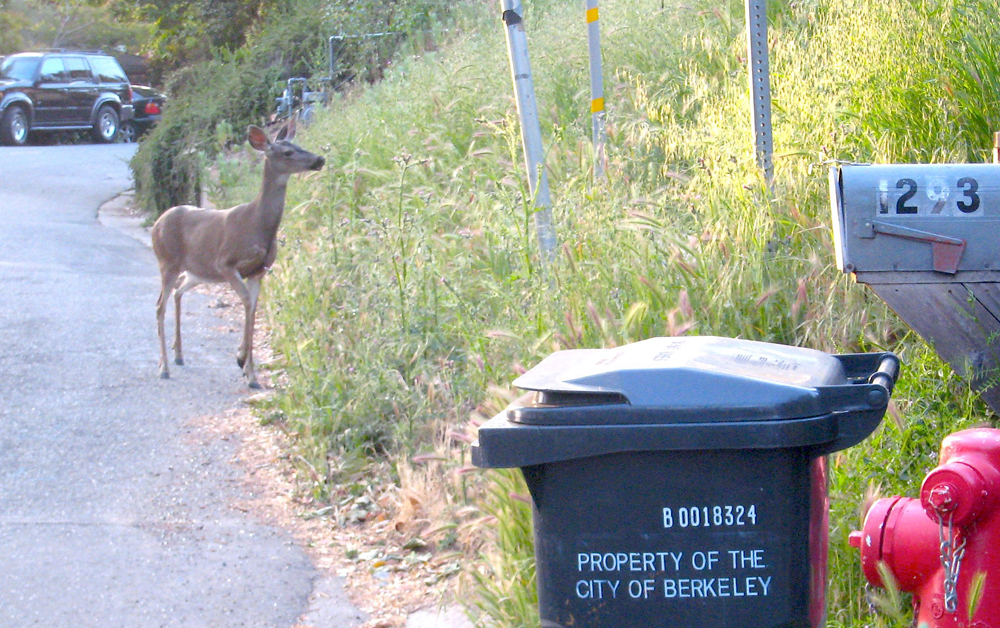 A wild blacktail deer in the Berkeley hills. Credit: Kristan Lawson
