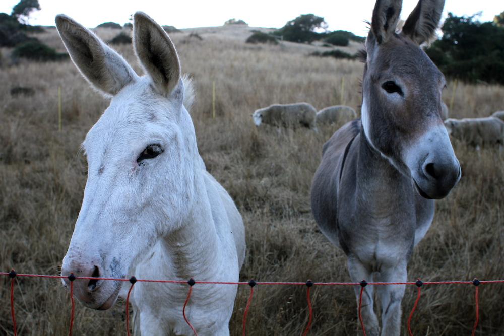 Two of the guard donkeys that protect the Mann's eight ewes. Photo: Angela Johnston.