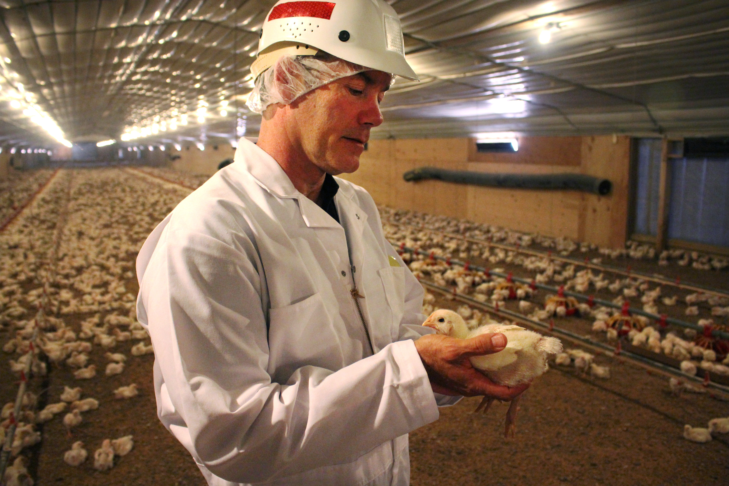 Bob O'Connor, a Foster Farms veterinarian, holds an 11-day-old chick at a ranch near the town of Merced, in California's Central Valley. Photo: Dan Charles/NPR