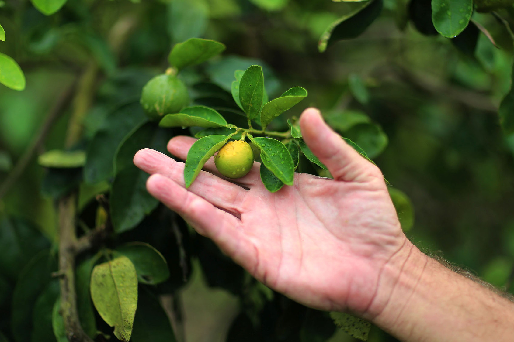 "An orange showing signs of ""citrus greening"" this spring in Fort Pierce, Fla. Photo: Joe Raedle/Getty Images"