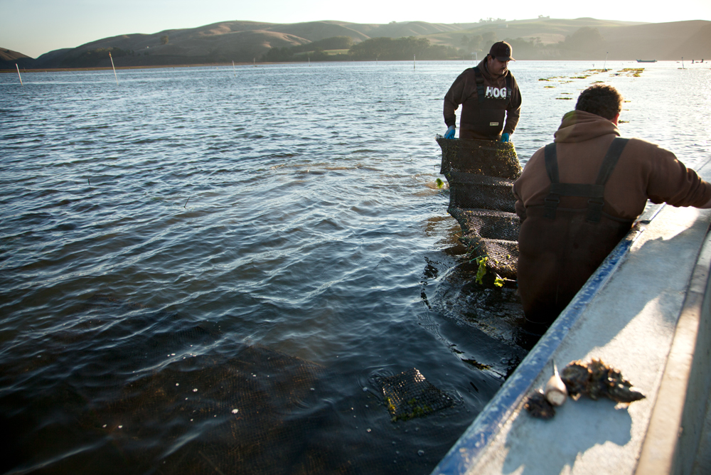 Harvesting oysters at Hog Island Oyster Farm. Photo courtesy of Hog Island Oyster Co.