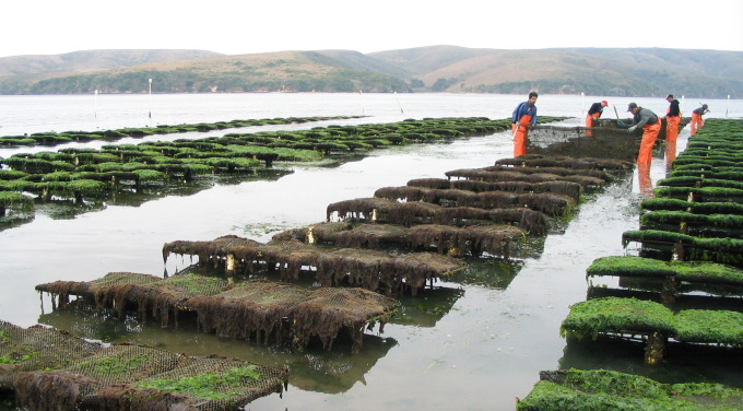 Hog Island Oyster Leases. Photo courtesy of Hog Island Oyster Co.