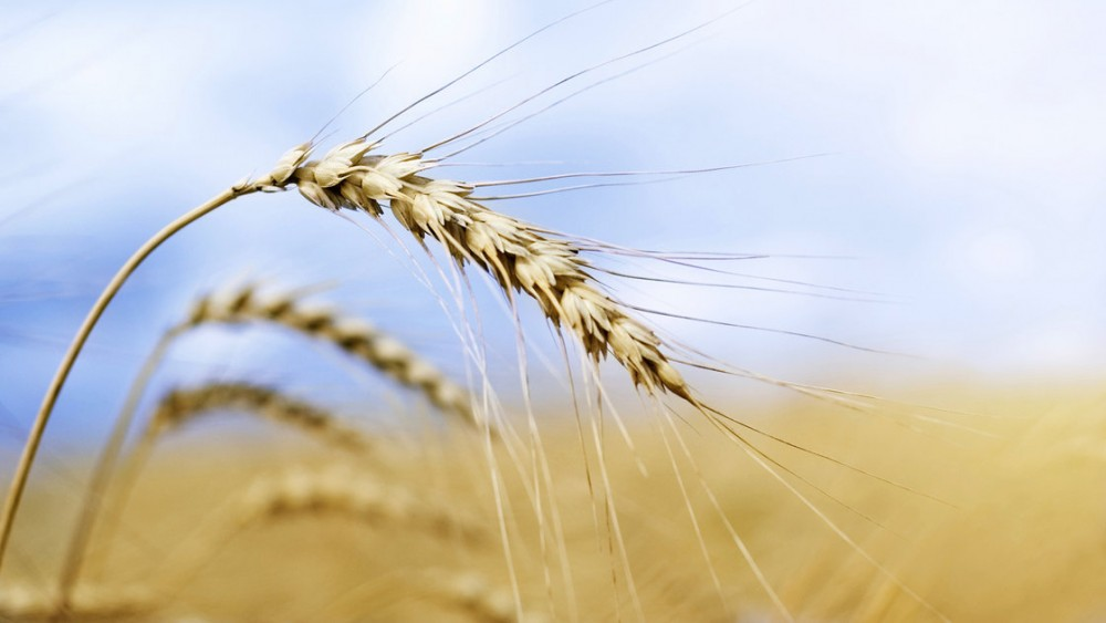 How did that genetically modified wheat end up in a field in Oregon? Investigators still don't know, but now they've found GMO wheat in Montana, too. Photo: iStockphoto