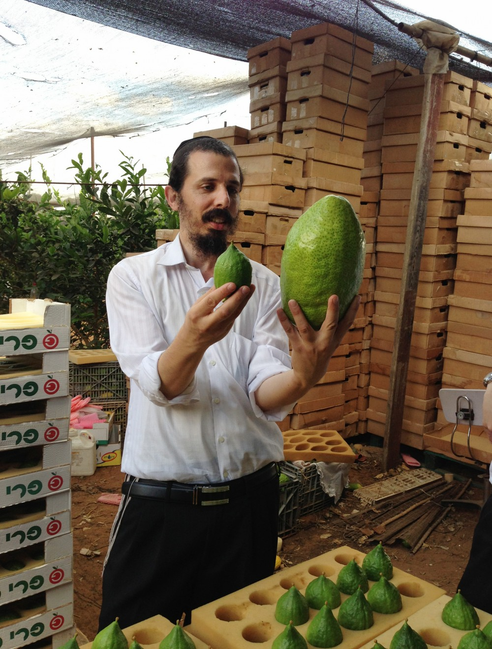 A wholesaler picking out fruit in an Israeli etrog orchard weighs a large Yemen-style etrog against a smaller variety. He prefers the small ones, and will search through stacks of boxes to find those he considers most beautiful. Photo: Emily Harris/NPR
