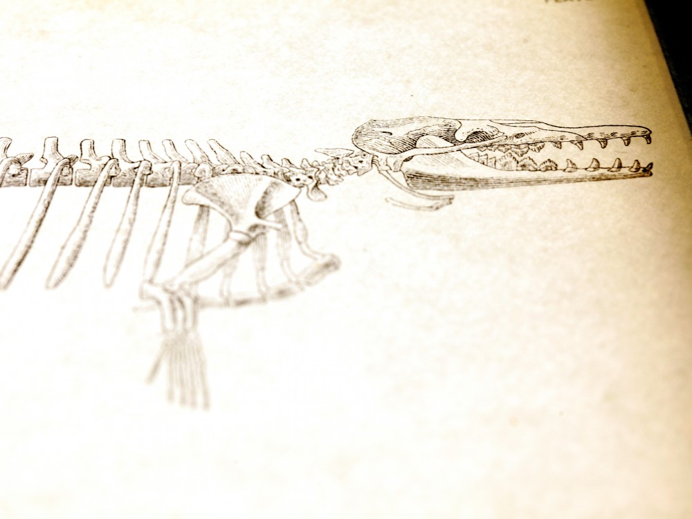 A rendition of a proto-whale skeleton. Photo: Ryan Kellman/NPR