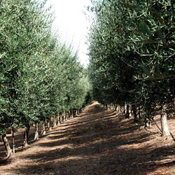 Sciabica olive orchard. Photo: Barry Jan