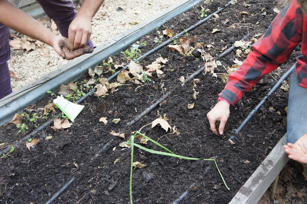 Ellie Gertler and Haider Zafar plant carrot seeds. Photo: Angela Johnston