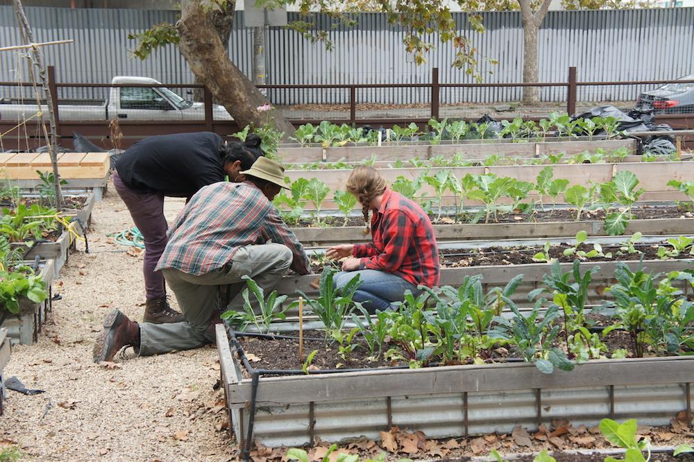 Joseph Davis, Ellie Gertler and Haider Zafar tend the garden beds at City Slicker Farms. Credit: Angela Johnston