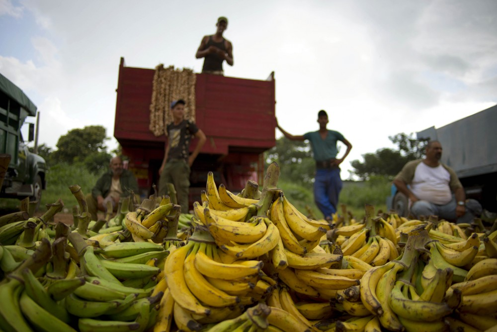 Banana growers at a market on the outskirts of Havana, Cuba, on Sept. 30, 2013. Cuba currently imports few fruits and vegetables from the U.S., but the American Farm Bureau says the change in relations may allow for new trade opportunities. Photo: Ramon Espinosa/AP