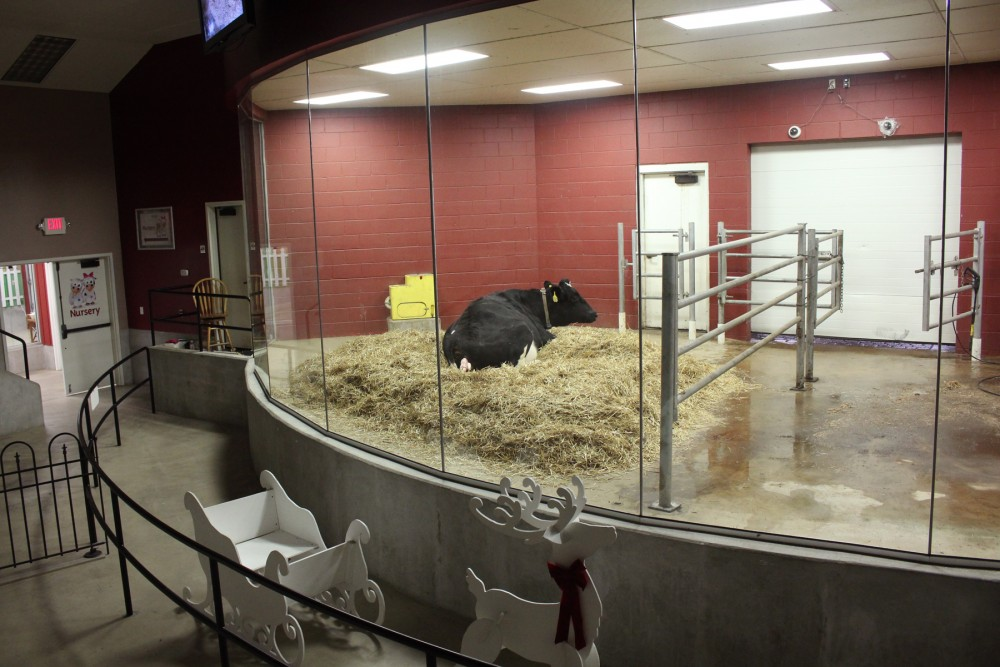 The amphitheater where visitors can watch cows give birth. Photo: Dan Charles/NPR