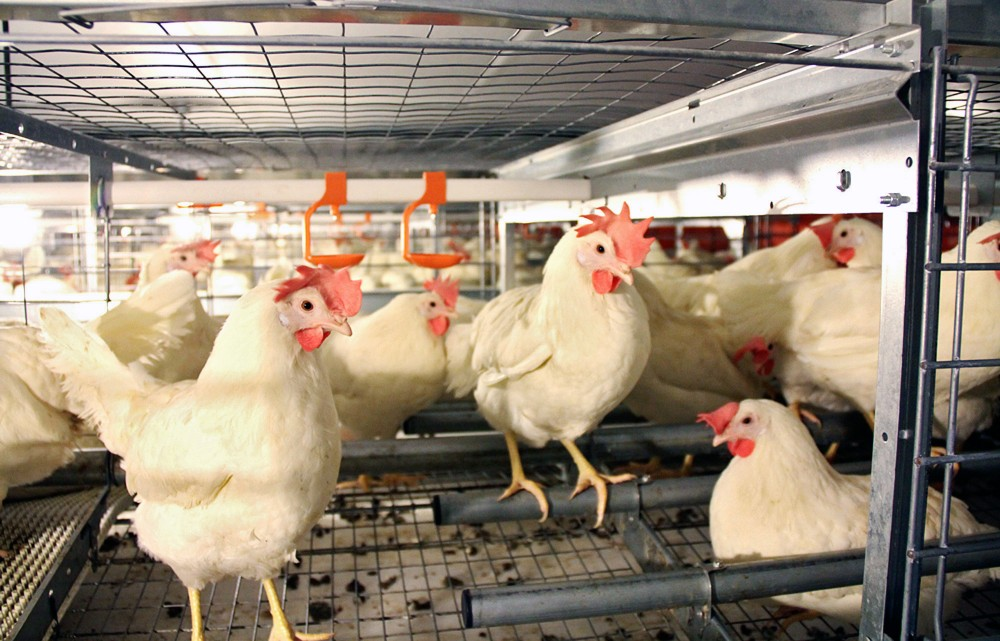"These ""enriched cages"" at the JS West farm in Atwater, Calif., comply with the state's new law. They are larger and allow chickens to perch and lay eggs in enclosed spaces. Photo: Jill Benson/AP"