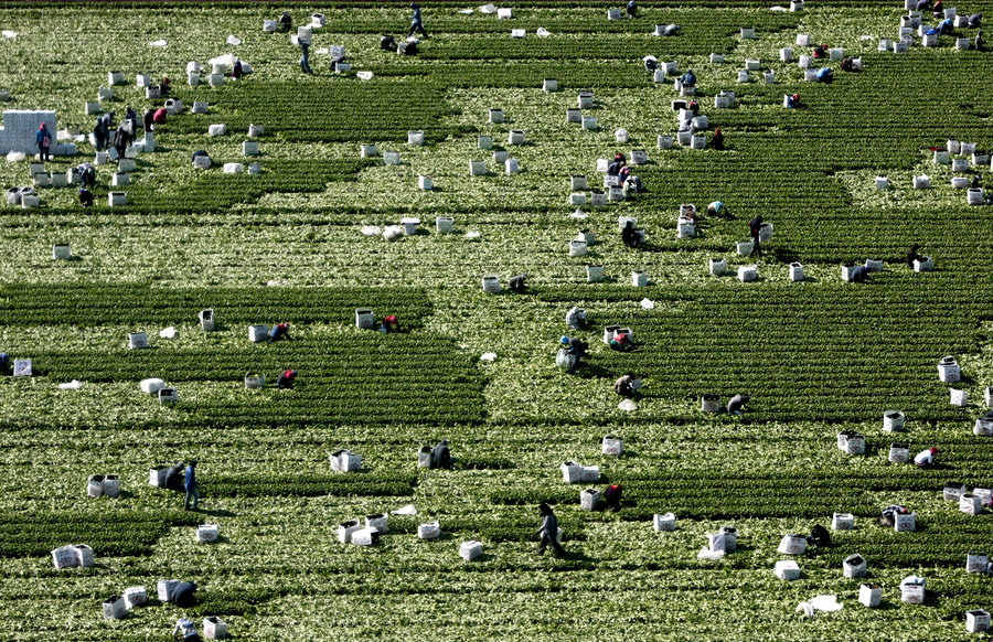 Workers pick fresh basil in a field in Villa Benito Juarez, Sinaloa. The tender leaves are carefully boxed for export to the United States. Photo: Don Bartletti/Los Angeles Times