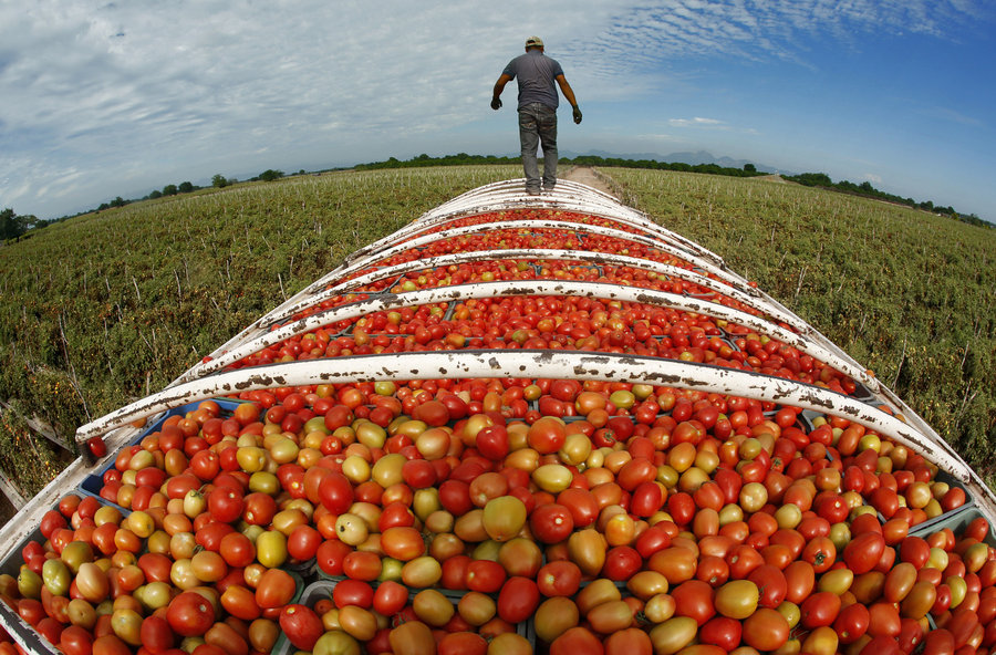 At the end of the day, Roma tomatoes are ready for transport in Cristo Rey in the state of Sinaloa. Half the tomatoes consumed in the U.S. come from Mexico. Photo: Don Bartletti/Los Angeles Times