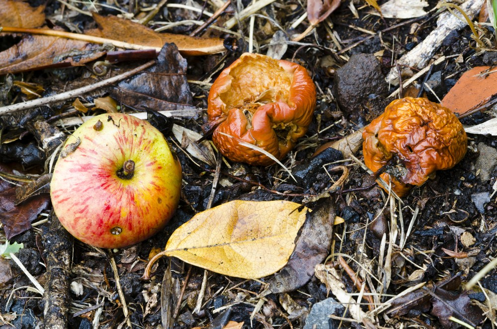 Rotten, fermented fruit has some nutritional value, and may have looked pretty good to our hungry ancient ancestors. Evolving the ability to metabolize the alcohol in fermented fruit may have helped us adapt to a changing climate 10 million years ago, research suggests. Photo: iStockphoto