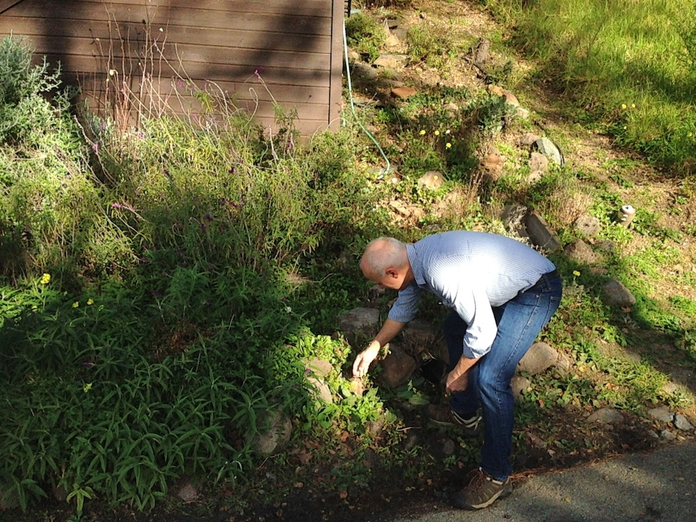 Carlson picks some chickweed on the side of the road. Photo: Angela Johnston