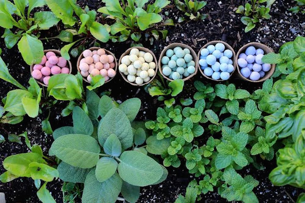 Multicolored Seedles in pots amidst an herb garden. Photo: Chris Burley