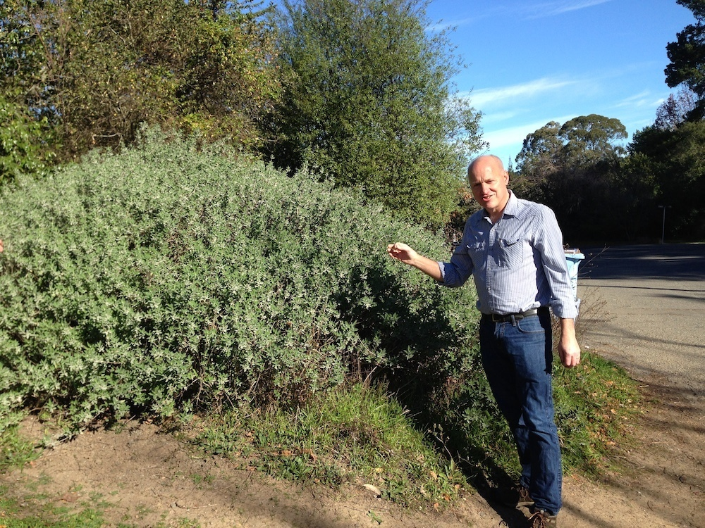 Tom Carlson stands in front of a wild sage bush near Tilden Park. Photo: Angela Johnston