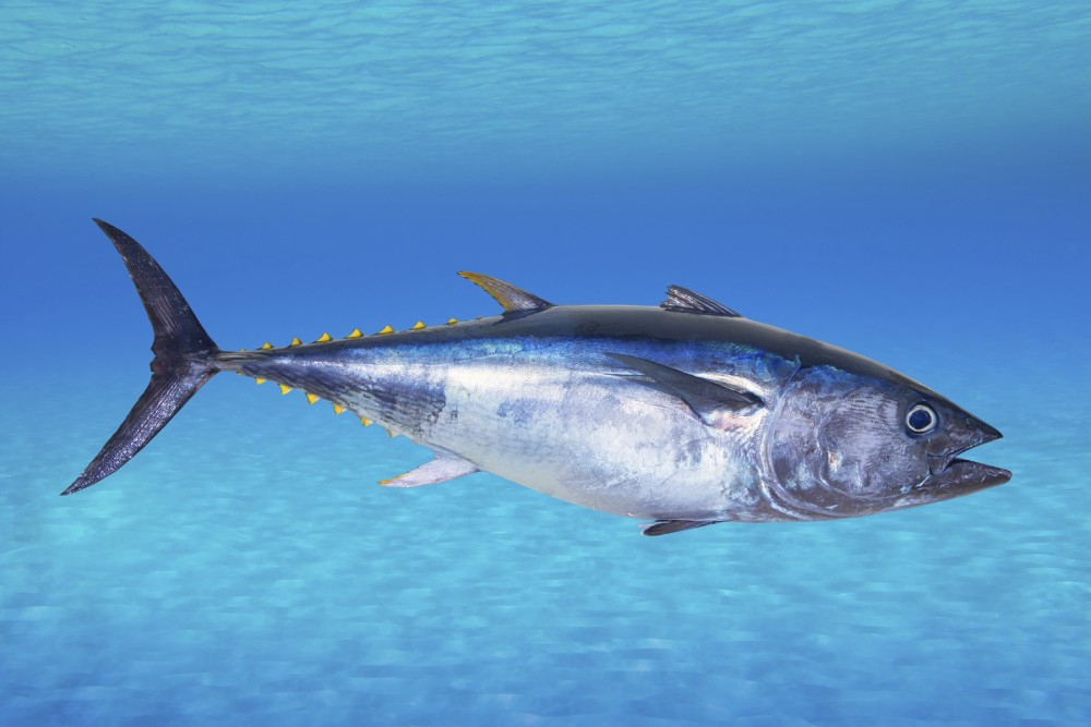 The IUCN says the Atlantic bluefin tuna is endangered. Its stocks have declined globally between 29 percent and 51 percent over the past 21 to 39 years, according to the conservation group. Photo: Tono Balaguer/iStockphoto