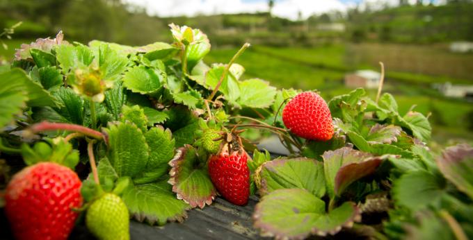 Strawberries in the field. Photo: Shutterstock
