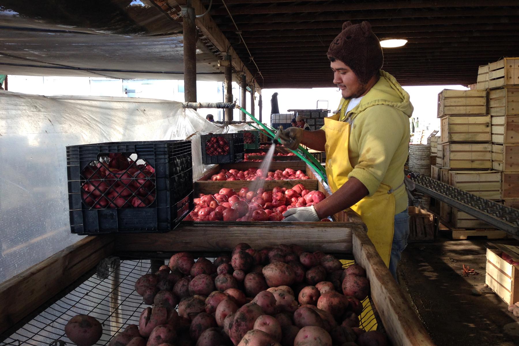 Nahun Villagomez Sanchez washes freshly dug Red LaSoda potatoes at T&D Willey Farms near Madera, Calif. Photo: Dan Charles/NPR