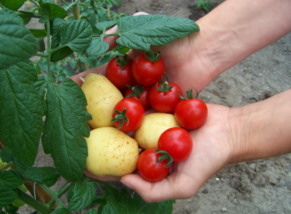 The plant is an early tomato grafted to a late-producing potato. The two can be harvested throughout the season. Photo: SuperNaturals