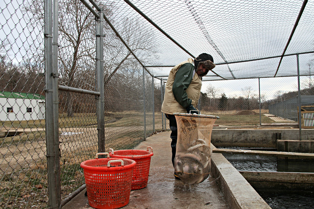 At Troutdale Farm in Missouri, farmhand Vince Orcutt pulls out rainbow trout ready to harvest. Photo: Kristofor Husted/Harvest Public Media