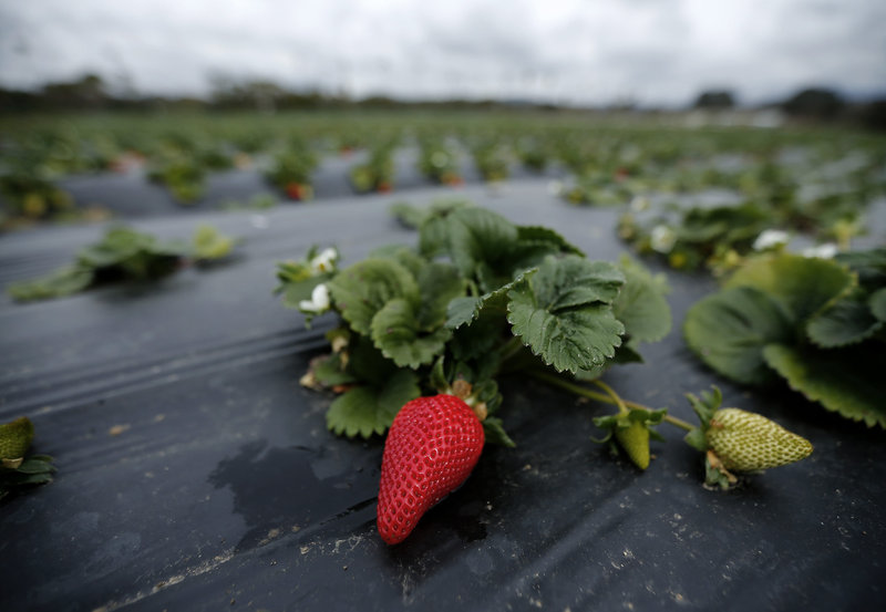 Albion strawberries, a variety created at UC Davis, grow on the Chino family farm in Rancho Santa Fe, Calif., on March 7, 2013. Photo: Mike Blake/Reuters/Corbis
