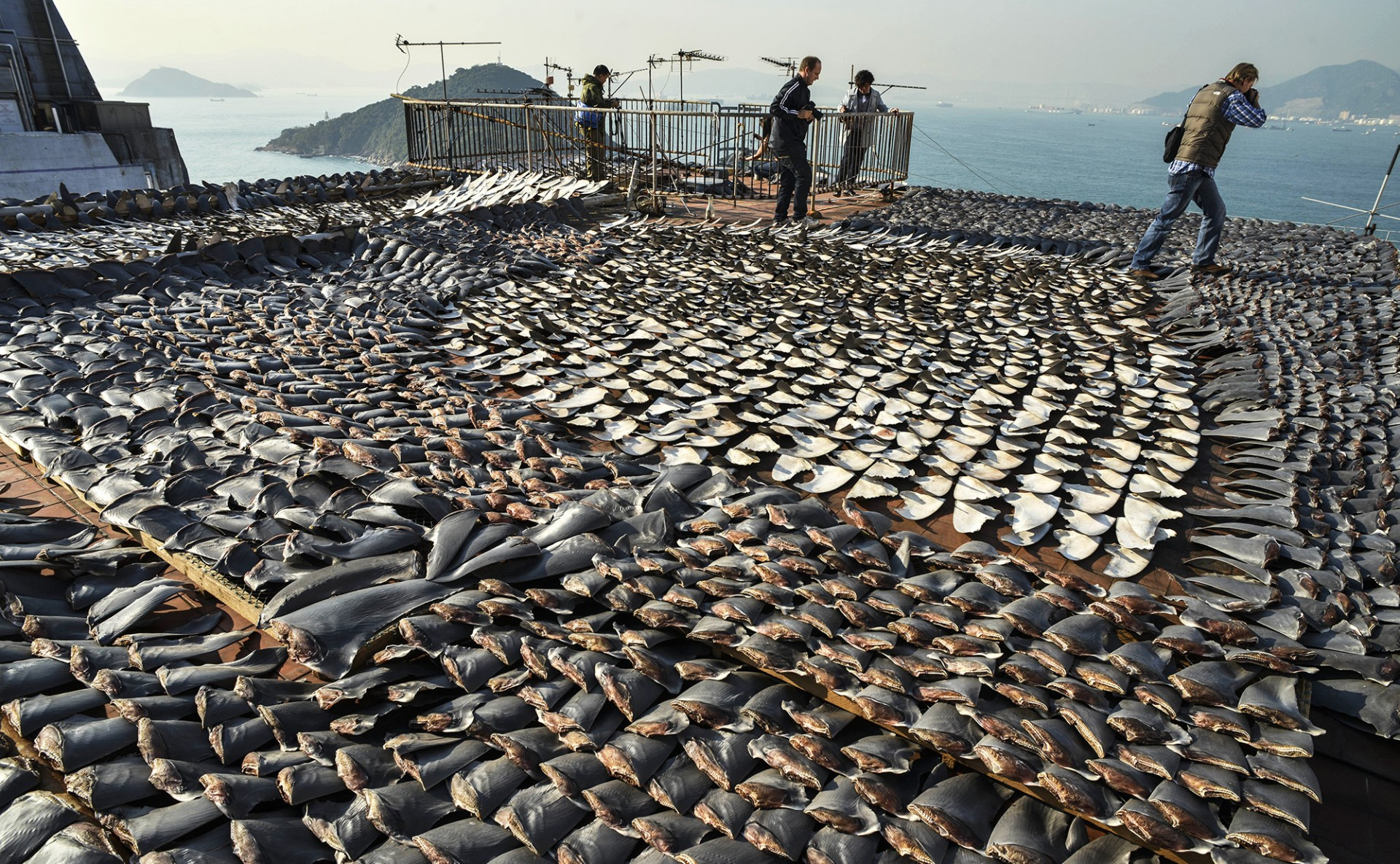 Shark fins dry in the sun covering the roof of a factory building in Hong Kong on Jan. 2, 2013. Hong Kong is one of the world's biggest markets for shark fins, but imports there have dropped by 29 percent since 2011, according to a new study. Photo: Antony Dickson/AFP/Getty Images