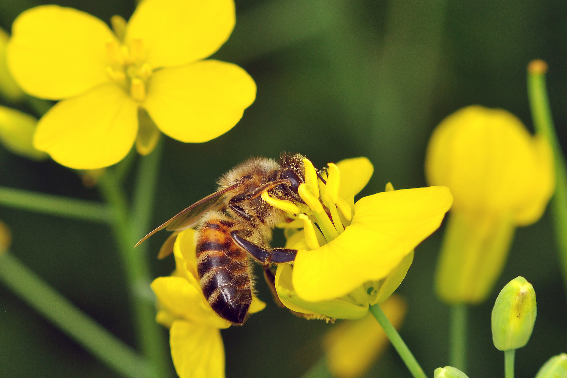 A honeybee forages for nectar and pollen from an oilseed rape flower