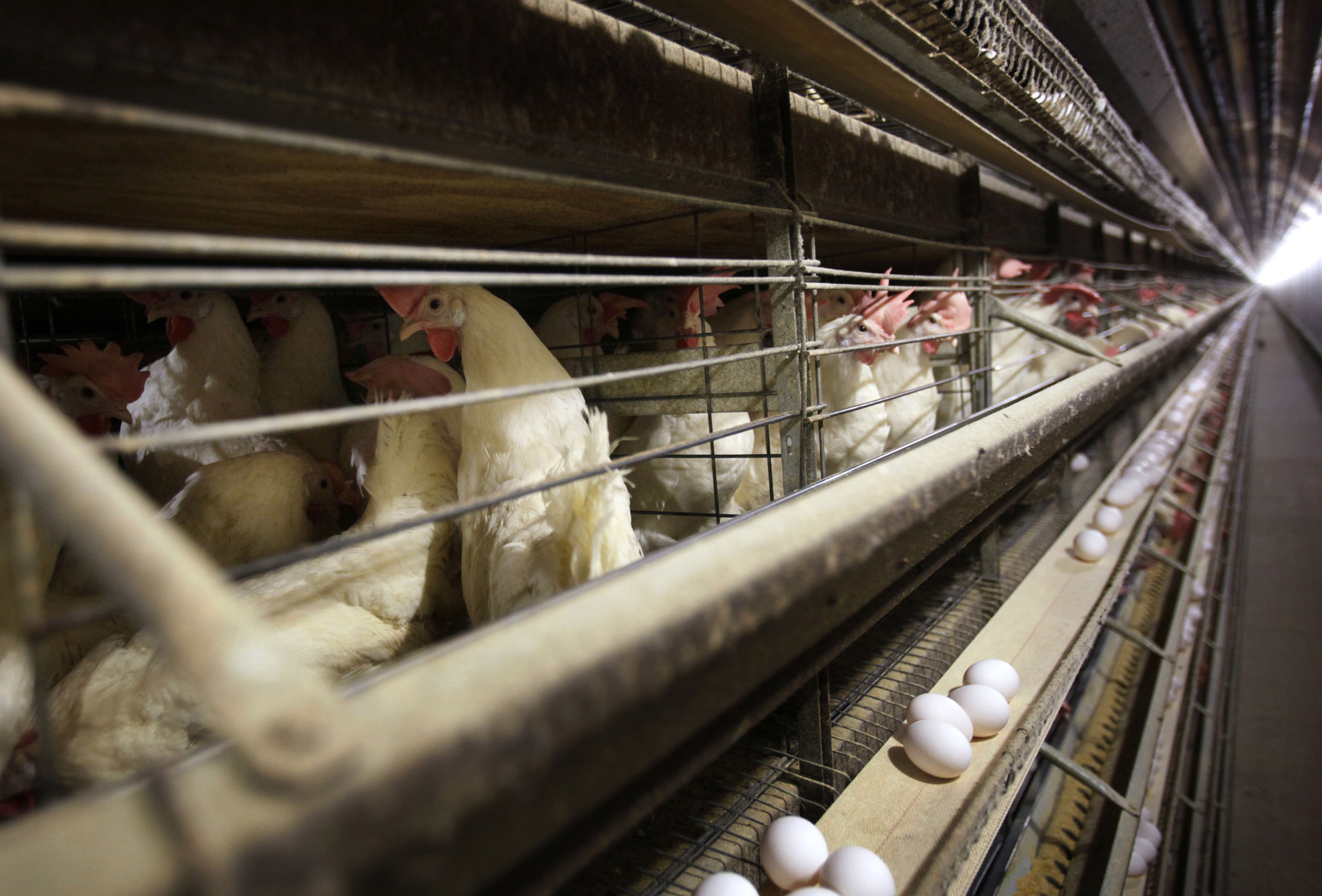 Chickens stand in their cages at a farm near Stuart, Iowa, in 2009. This week, bird flu hit a large poultry facility in Iowa. It's not clear how the virus is evading the industry's biosecurity efforts.